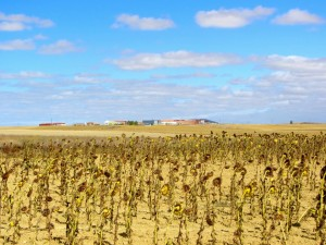 Dead sunflowers come alive in this landscape